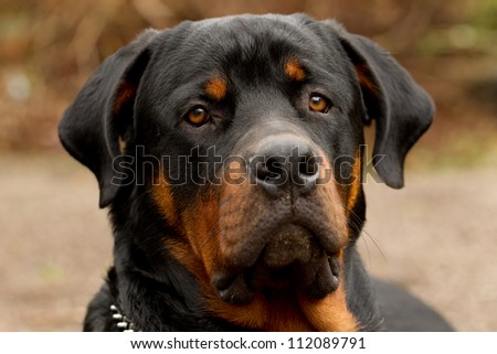 FRONTAL PORTRAIT OF AN ADULT MALE PUREBRED ROTTWEILER, NARROW DOF, FOCUS ON THE EYE   - stock photo