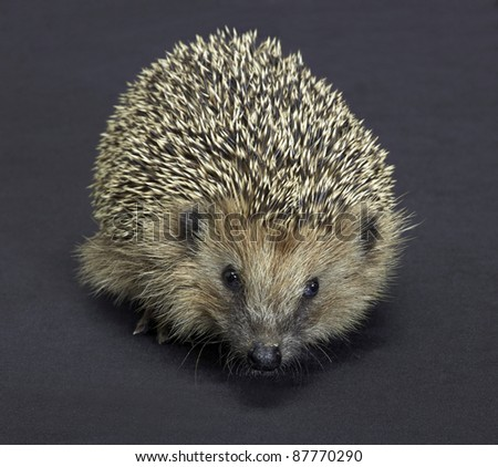 frontal shot of a hedgehog. Studio photography in dark back