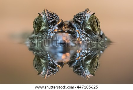 Frontal view of a Spectacled Caiman (Caiman crocodilus) - stock photo