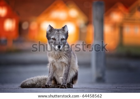 Frontal view of an arctic fox at sunset with typical architecture blurred on the background, Longyearbyen, Spitsbergen, Svalbard Islands, Norway