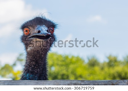 Frontal view of face of emu - stock photo