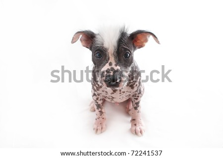 Frontal view of Hairless Mexican dog breed - stock photo