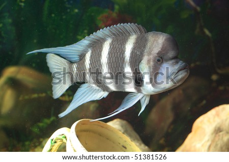 Frontosa - big fresh-water fish, African cichlid lakes Tanganyika