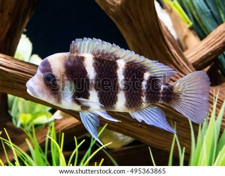 frontosa cichlid also referred to as the humphead cichlid