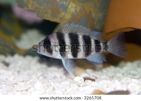 Frontosa Cichlid  (Cyphotilapia Frontosa) - stock photo