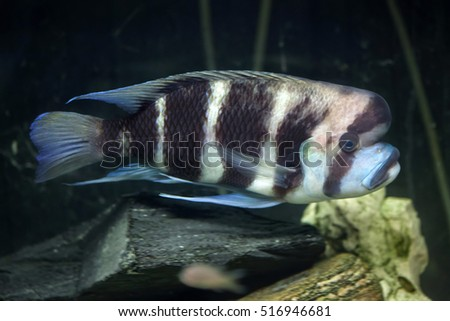 frontosa cyphotilapia frontosa also known as the humphead cichlid