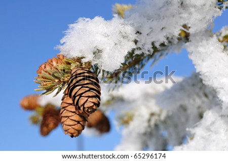 Frost Covered Spruce Tree Branch with Pine Cones and Blue Sky - stock photo