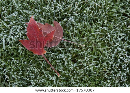 Frost & maple leafs - stock photo