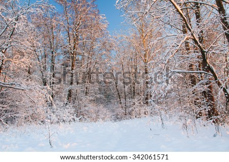 Frost on the trees in the forest. Cold winter day at sunset. Frost and snow on the branches. Beautiful winter nature. Panorama of the winter forest. The winter landscape. Snow fairy forest - stock photo