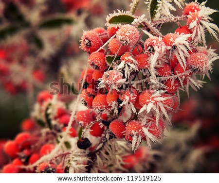 Frosted berries on cold morning in winter.  - stock photo