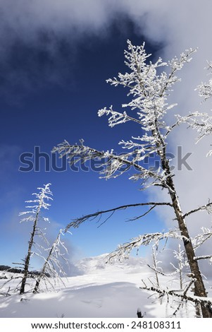 Frosted trees in Mammoth Hot Springs, Yellowstone National Park. - stock photo