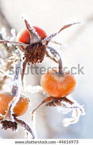 Frosty dog-rose - stock photo