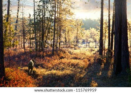Frosty morning next to the forest. Hound for hunter looking for a trace between the trees. - stock photo