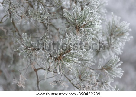 Frosty tree branch with snow in winter