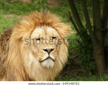 Frowning barbary lion looking into the camera