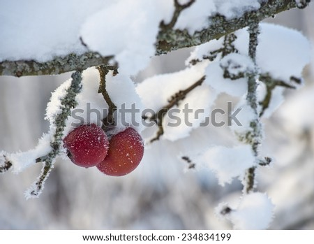 Frozen and frosty red apples that stayed on the tree are covered with a layer of snow in the winter months - stock photo