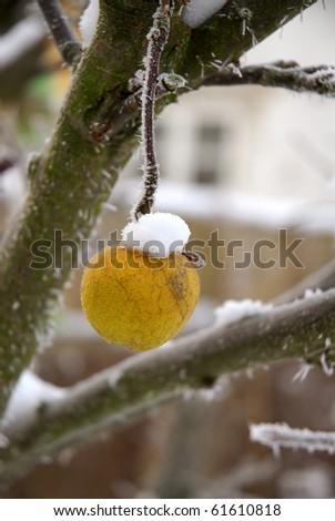 Frozen apple on tree - stock photo