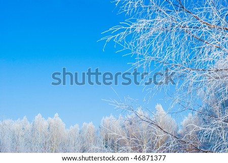Frozen birch on sky blue background.