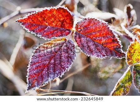 Frozen blackberry autumn leaves, seasonal vintage winter  background, macro image - stock photo
