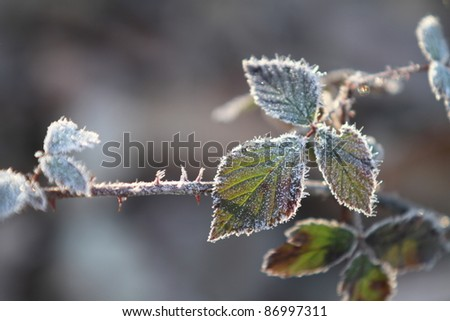 Frozen Blackberry schrub during winter - stock photo
