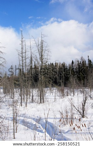 Frozen bog with deep snow dead trees and blue sky - stock photo