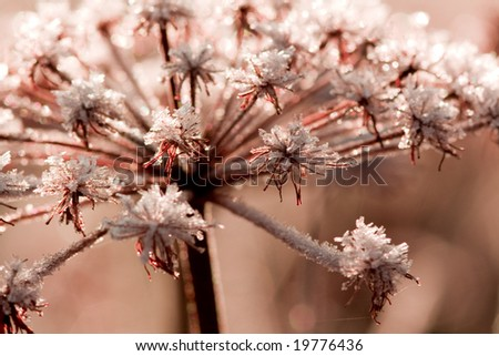 Frozen flower in the cold morning-red - stock photo