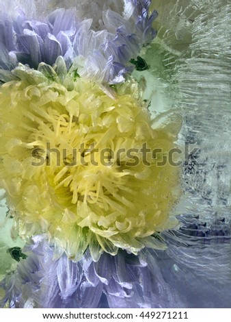 Frozen  fresh beautiful   flower of   aster  and air bubbles in the ice  cube - stock photo