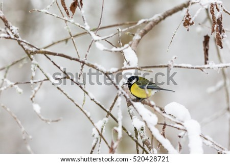 Frozen Great tit on a branch