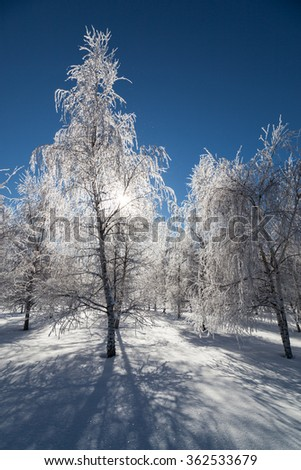Frozen ice crystals coat winter birch trees that are backlit by the sun making them glow and sparkle. - stock photo