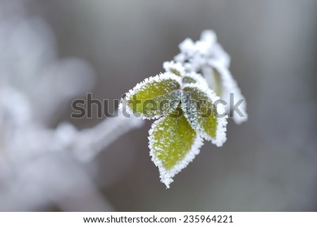 Frozen leaves of a plant in winter - stock photo