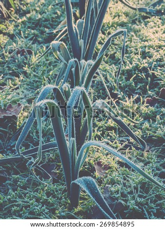 Frozen leeks in vegetable garden, faded look filter - stock photo