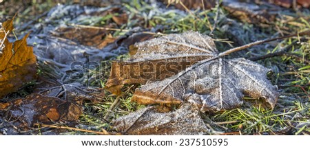 Frozen maple leaf. Winter seasonal composition with withered leafs covered by morning frost