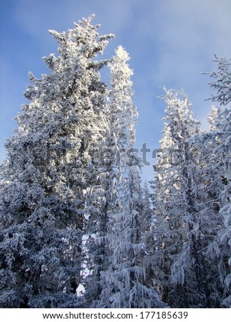 Frozen Misty Trees - stock photo