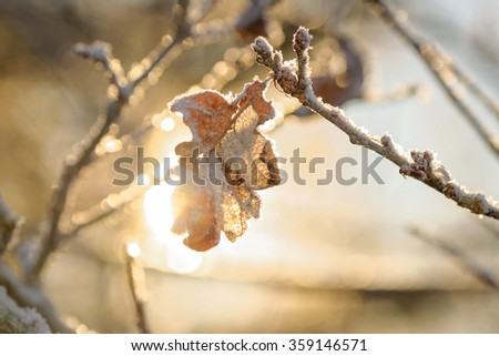 Frozen oak leaf in sunlight during a cold winter day. Sweden - stock photo