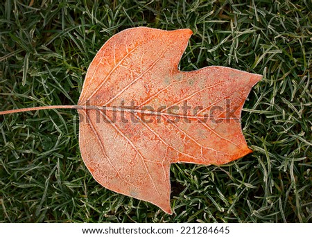 Frozen orange leaf of a tulip tree on a meadow covered with hoarfrost on a cold autumn morning - stock photo