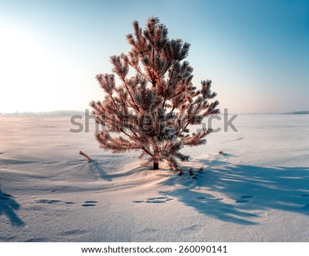 Frozen pine on winter field and blue sky. Sunrise - stock photo