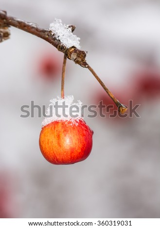 Frozen ripe apple covered with snow - stock photo
