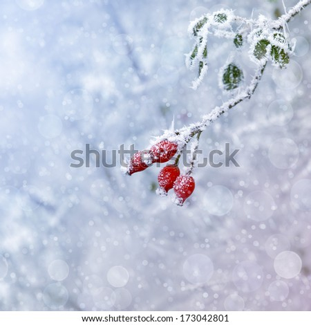 Frozen Rose Hip  - stock photo