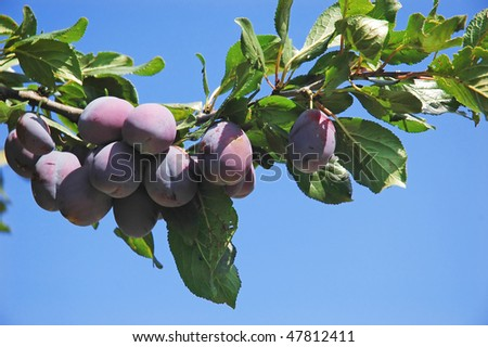 Fruit - a branch of ripe plums - stock photo