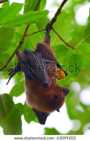 Fruit bat (pteropus giganteus) hanging on the tree - stock photo