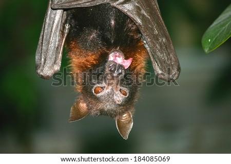 Fruit bat tongue - stock photo
