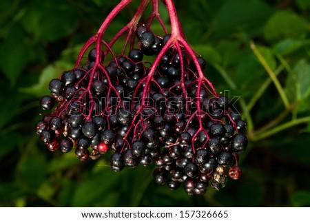 Fruit cluster of Elderberry - stock photo