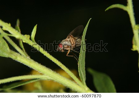Fruit fly (Drosophilidae) on a leaf