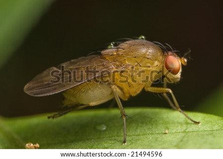 Fruit Fly moving it leg - stock photo