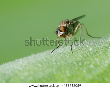 fruit fly, Thailand  - stock photo