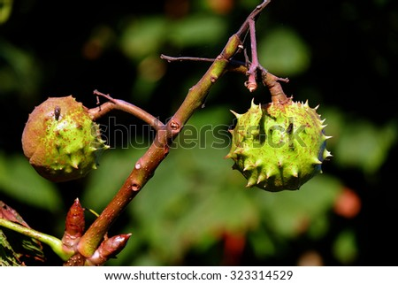 fruit in shell on horse chestnut tree.