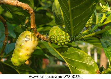 fruit of Morinda citrifolia L tree with the leaf under sunlight - stock photo