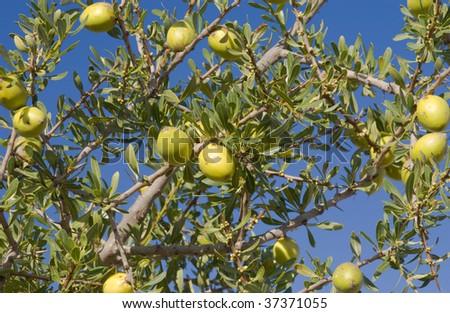Fruit of the Argan tree (Argania spinosa) in Morocco - stock photo