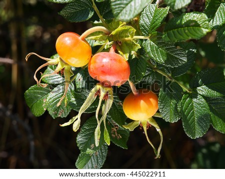 Fruit of the rose - stock photo