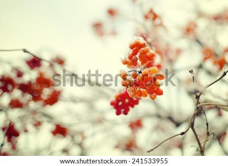 Fruit of the rowan tree. Winter. - stock photo